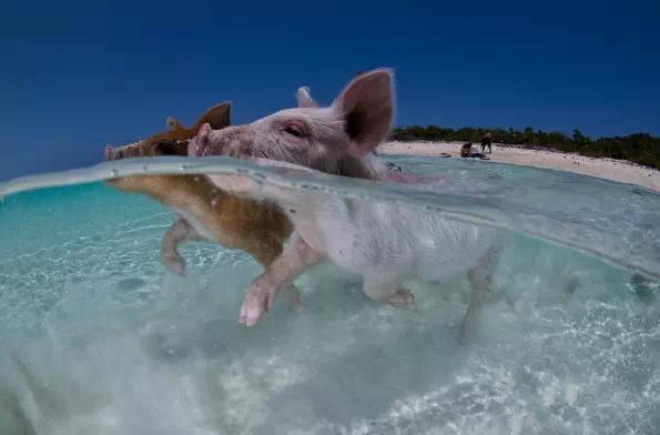 有一個豬島。上面有一群被水手遺棄的豬無憂無慮地生活著 - 每日頭條