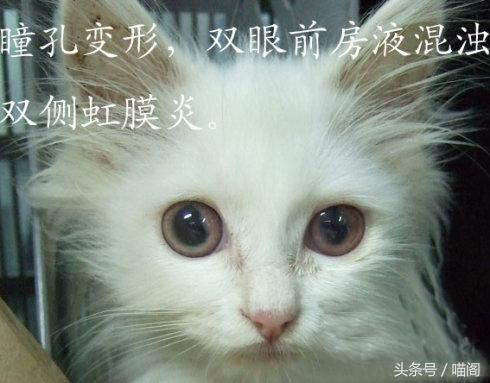 可怕的絕癥——貓傳染性腹膜炎 - 每日頭條