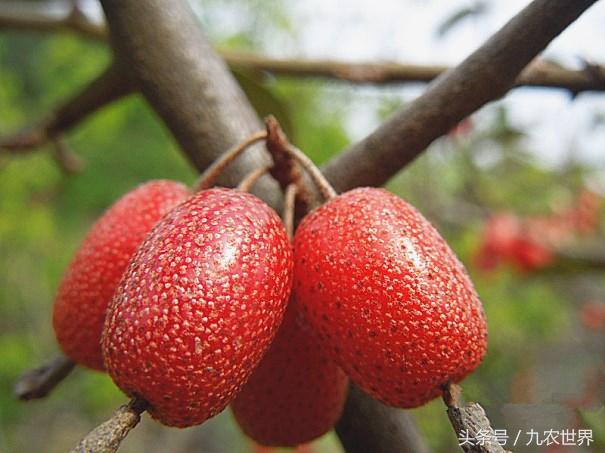 農村娃最愛的八大野果。你都吃過嗎?最後那種一公斤賣一百元 - 每日頭條