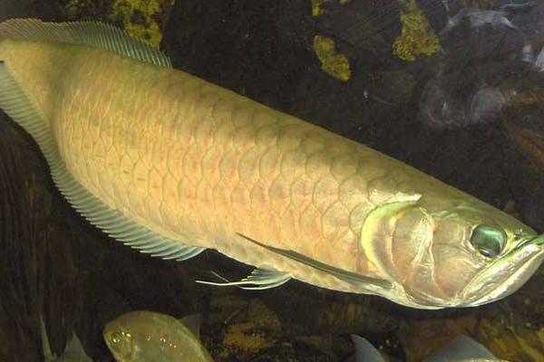 什麼魚和金龍魚一起養好 金龍魚怎麼養 - 每日頭條