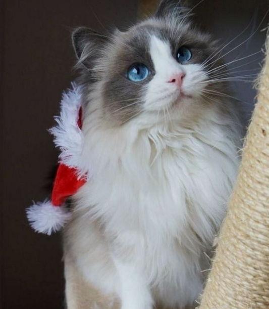 布偶貓常見的花色和花紋 - 每日頭條