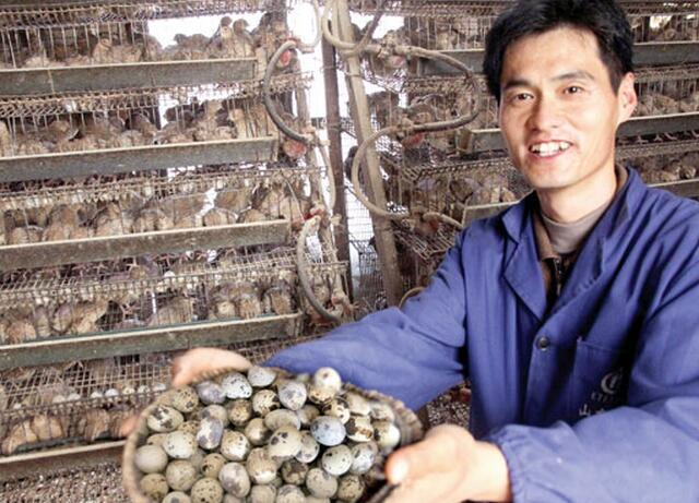 養鵪鶉比養雞好:好養、投入少、賺錢多 - 每日頭條