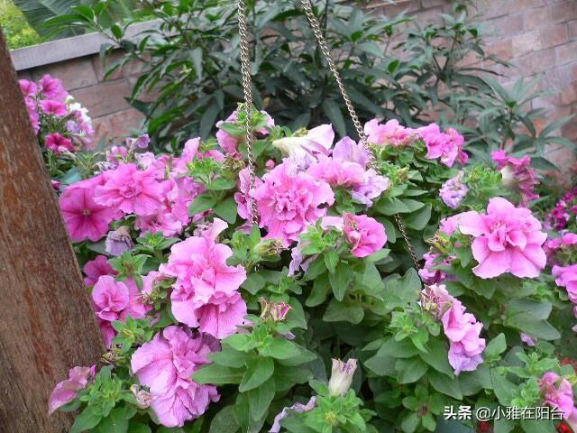 別小看這「4種花」。好養漂亮。種一棵長多棵。開滿陽臺成小花園 - 每日頭條