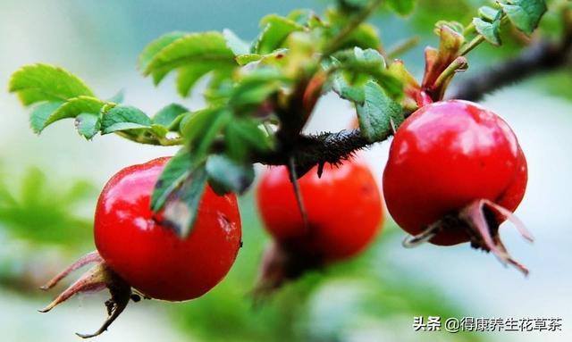 薔薇果茶的功效和作用 - 每日頭條