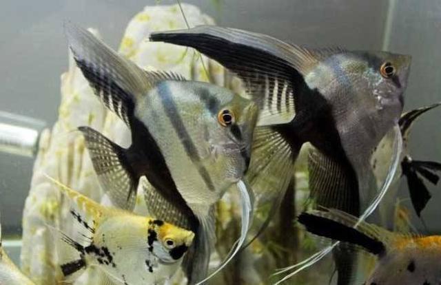 大部分魚友飼養的神仙魚患病,問題都是出在了水溫水質之外! - 每日頭條