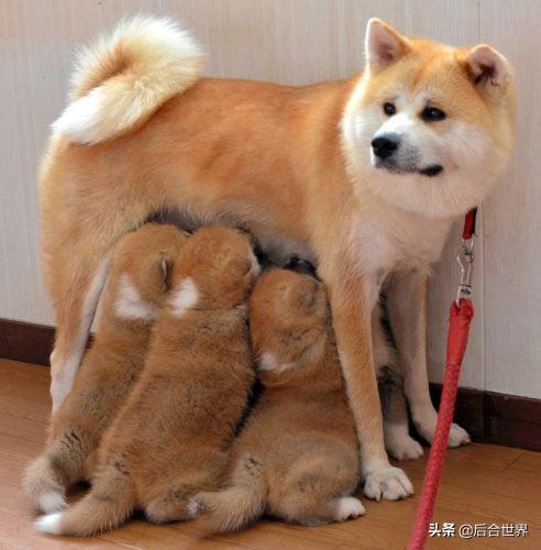 十種最忠誠的狗品種,想養寵物的可以考慮,已經擁有的註定幸福 - 每日頭條