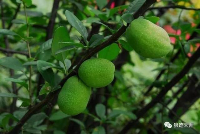 農曆中國 | 八月初八 · 木瓜海棠 - 每日頭條