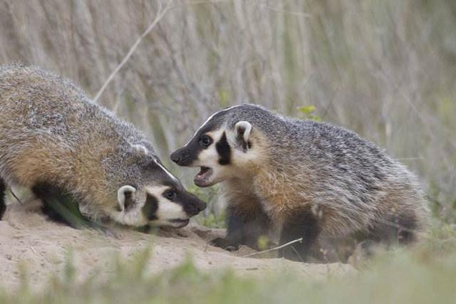 中國農村野獸:獾子。中國版平頭哥 - 每日頭條