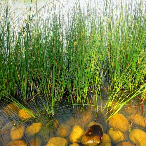 每天認識一種園林植物——觀葉植物之20水蔥 - 每日頭條