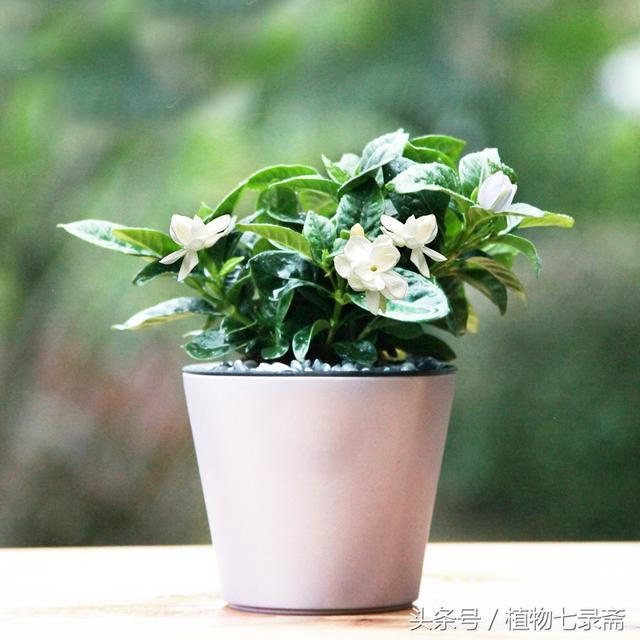 花開清香,惹人愛——梔子花,養好它,就在這五點! - 每日頭條