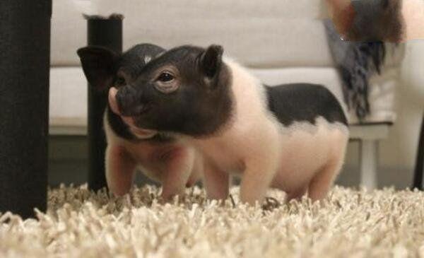 地球上體型最小的豬,價格高達7276元,非常聰明懂得愛 - 每日頭條
