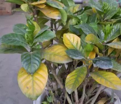 室內養花最常遇到的植物病癥,教你輕鬆解決 - 每日頭條
