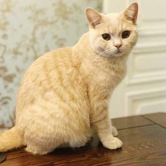 英國短毛貓15種顏色大集合!別再以為虎斑紋的只有美短了! - 每日頭條