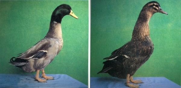 中國有哪些鴨類很有名?十大有名的土鴨你知道幾個? - 每日頭條