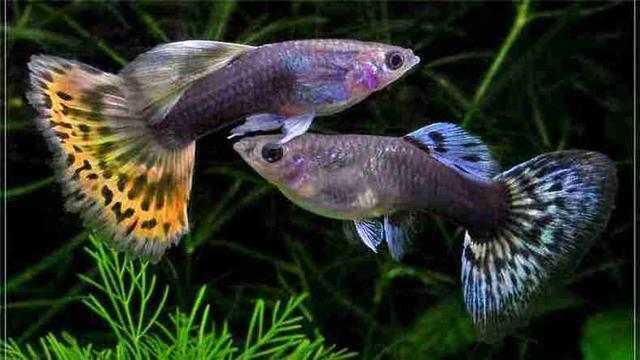 如何準確判斷孔雀魚什麼時候生小魚? - 每日頭條