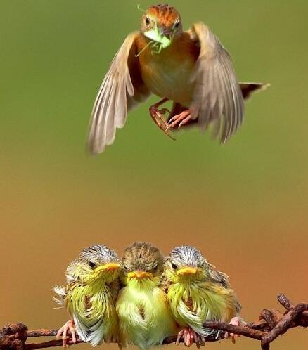 鳥媽媽叼著小蟲子飛過來。飢餓的小鳥們是這反應!明顯感覺不夠吃 - 每日頭條