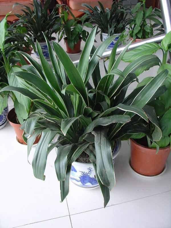 不得不了解的風水植物,你家也在種嗎? - 每日頭條