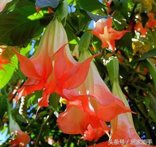 原來曼陀羅花有這麼多種顏色。你見過幾種? - 每日頭條
