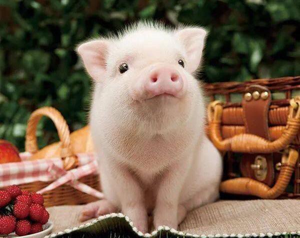 喂,吃貨!世界那麼大,咱撩「豬」去呀? - 每日頭條