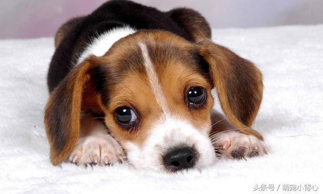 當狗狗眼睛出現這些信號,趕緊帶它看醫生 - 每日頭條