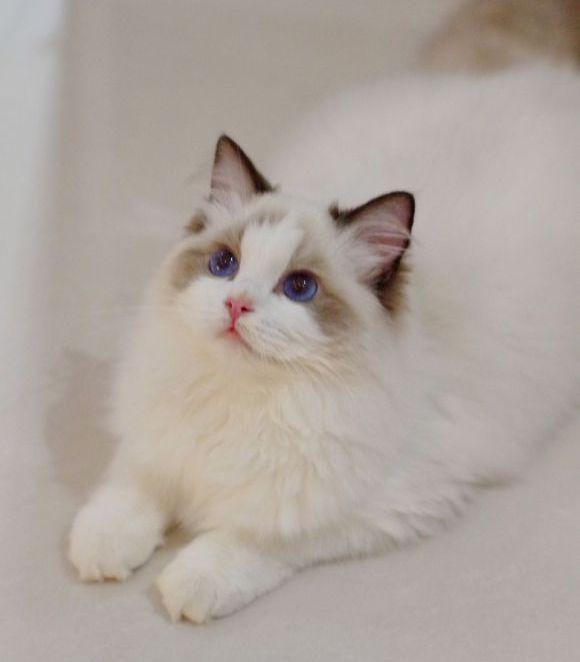 布偶貓雖然可愛。但是容易得一種病。可能危及生命! - 每日頭條