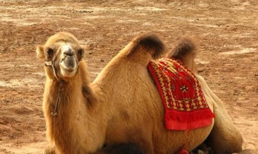 駱駝:駱駝的體型特徵 - 每日頭條