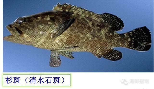 海釣說:石斑魚有個大家族。聽說還有班主 猜猜誰是班主 - 每日頭條