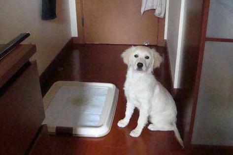 狗狗隨地大小便不要急。小編來教你如何學習定點排便 - 每日頭條