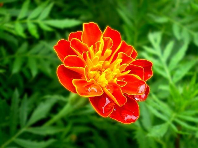 美麗嬌艷的孔雀草 - 每日頭條