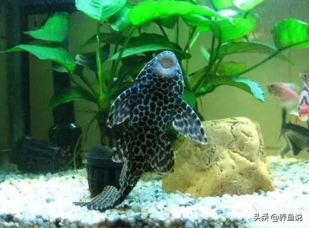 別太指望清道夫魚清潔魚缸,它們並非善類,想清潔魚缸得養這兩種 - 每日頭條