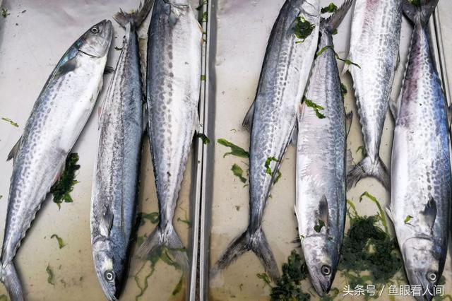 初夏大集鮮活野生海鮮少 一種上市不久的鯔魚 5塊錢一斤受追捧 - 每日頭條