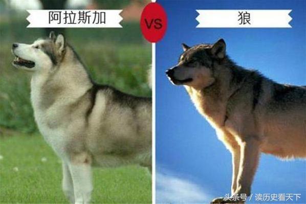 這七種狗和狼十分相似,通過圖識別一目了然,有一種太像被禁養 - 每日頭條