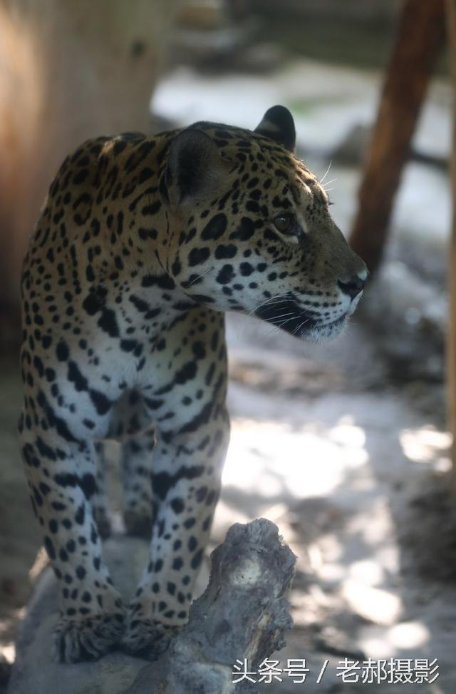 靜似貓 動如風雷的美洲豹 - 每日頭條