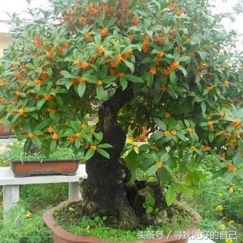 5種盆栽鎮宅旺財,福到沒得說 - 每日頭條