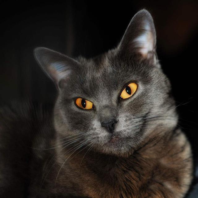 溫順,易於相處,獨立,個性強——沙特爾貓 - 每日頭條
