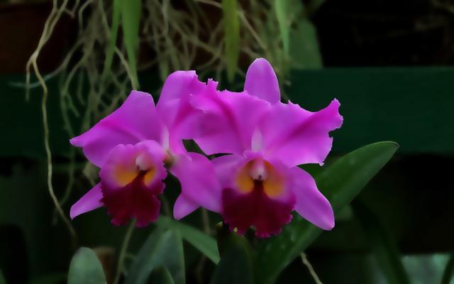 植物tu途徑:蝴蝶蘭'j - 每日頭條