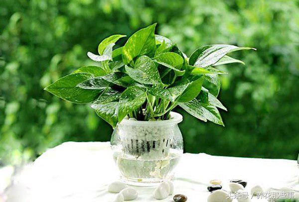 這五種水培植物。在冬季也依然可以生長的很好! - 每日頭條