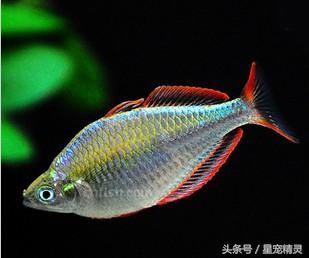 泛著紅光的藍色幽靈,電光美人魚 - 每日頭條