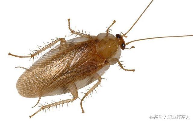 常見昆蟲知識普及(八)——蟑螂 - 每日頭條