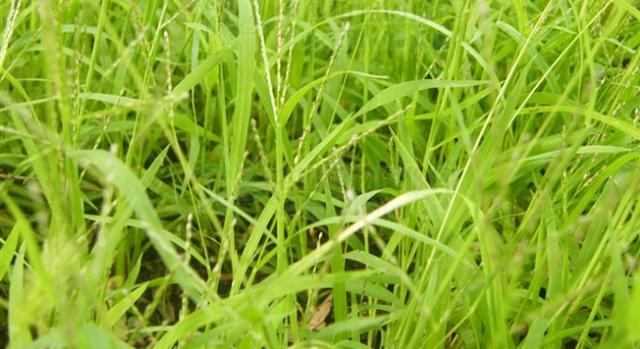 農村常見雜草─馬唐 - 每日頭條