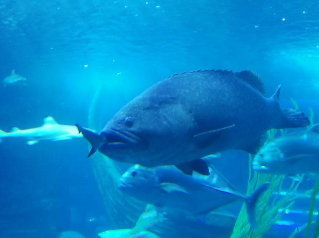 石斑竟把鯊魚一口吞了,就發生在東湖海洋世界 - 每日頭條