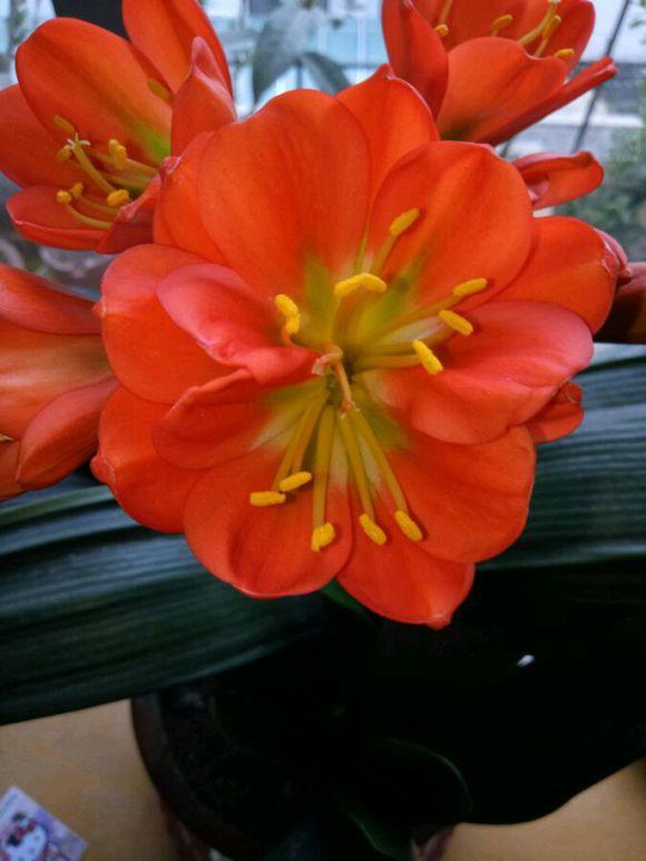 10000塊也買不到,多層花瓣君子蘭,開花持續半年以上 - 每日頭條