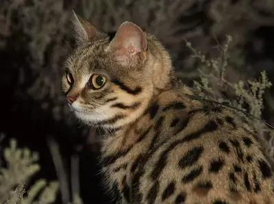 黑足貓:自然界最小型的貓科動物之一。別看人家小。超兇的! - 每日頭條