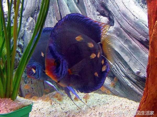 七彩神仙魚能長多大?這幾個因素決定其大小 - 每日頭條