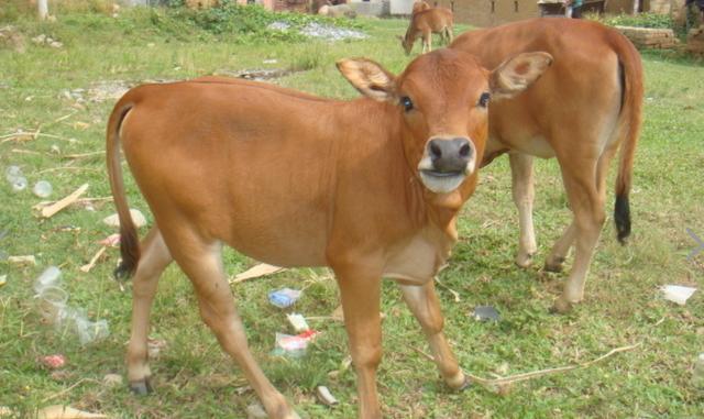 剛出生的牛犢。冬季的護理很重要。這些方法讓它活的更好 - 每日頭條