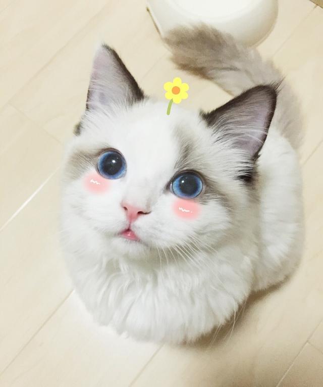 布偶貓到底能長多大呢? - 每日頭條