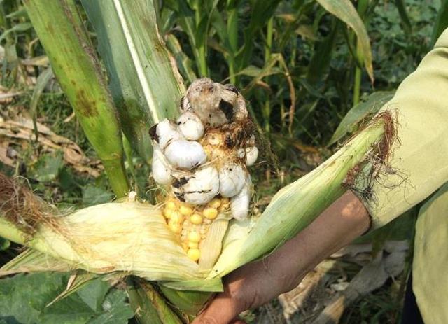 玉米上長了「蘑菇」。竟是一道美味! - 每日頭條
