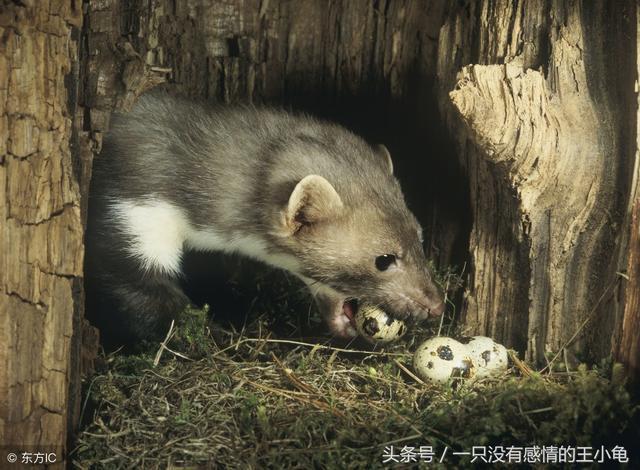 您一定聽過的關於黃鼠狼的邪門故事 - 每日頭條