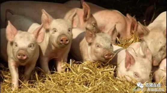「養豬大國」中國VS「養豬強國」丹麥,我們的差距究竟在哪裡? - 每日頭條