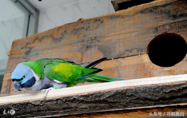 每日鸚鵡:中國特有的鸚鵡品種,大緋胸鸚鵡 - 每日頭條